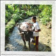 Paysan avec son bufle aux Philippines