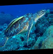 Tortue de mer aux Philippines