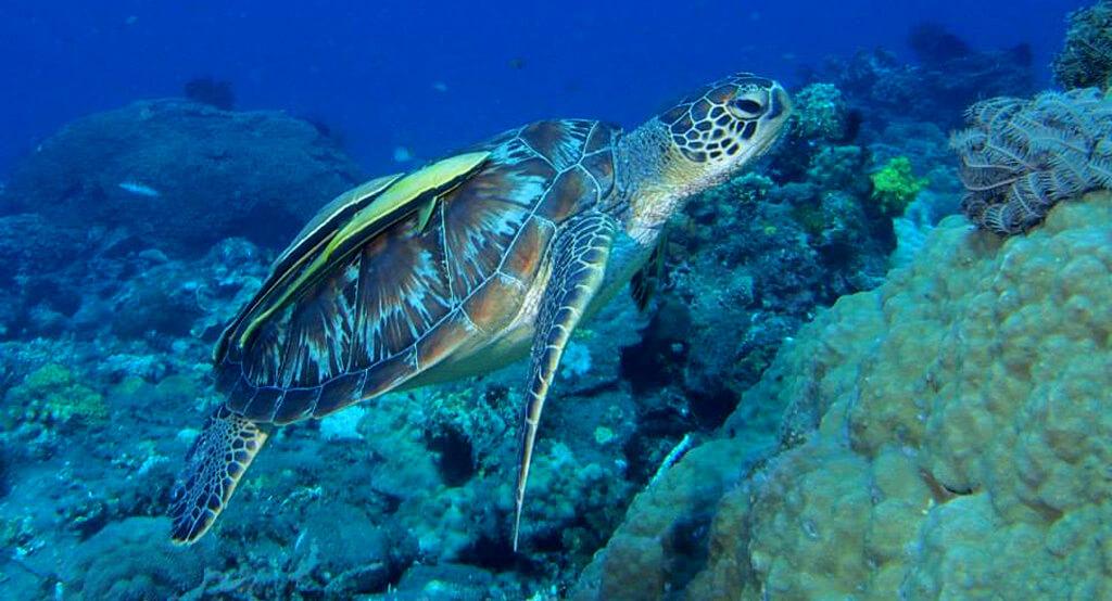 Tortue de mer dans son mileu naturel aux Philippines