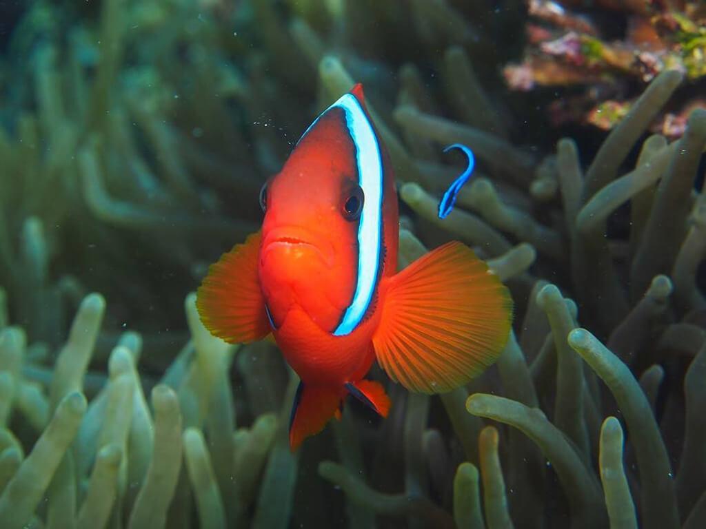 Nemo aux Philippines