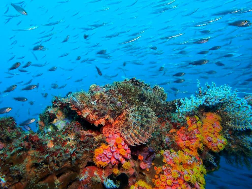 Mérou camouflé sur le récif coraillien aux Philippines