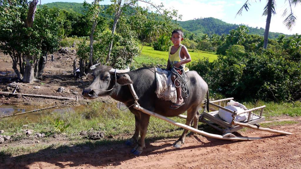 Enfant sur le dos d'un bufle Carabao aux Philippines.