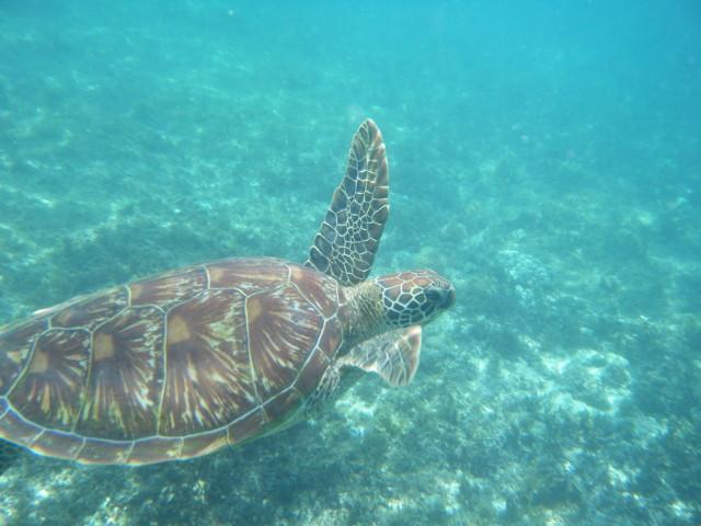 Tortue de mer autour de l'île d'Apo aux Philippines.