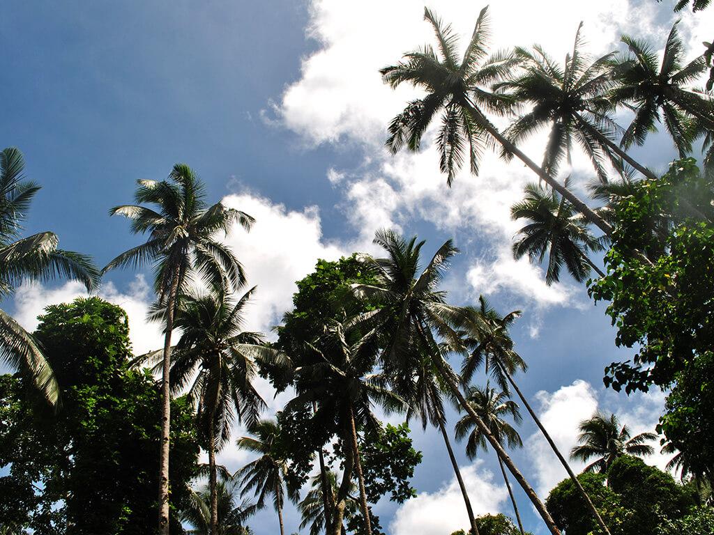 Palmiers dans les régions de Camiguin et Siargao.