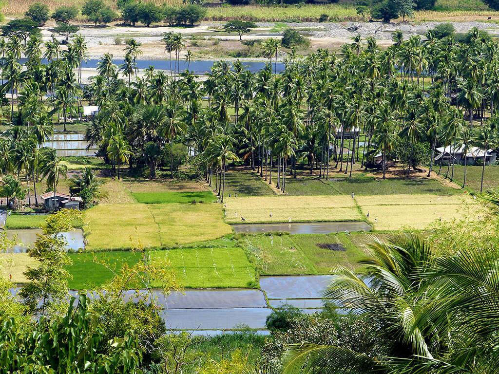 Vue sur les rizières à Negros et Apo.
