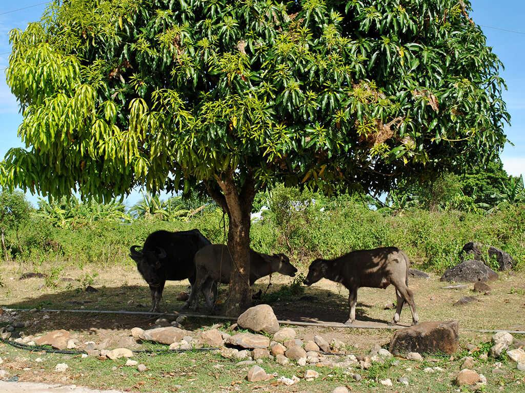 Des vaches à l'ombre d'un arbre dans les régions de Negros et Apo.